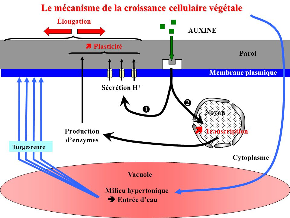 Le mécanisme de la croissance cellulaire végétale