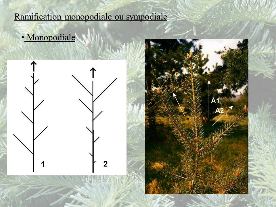 Ramification monopodiale ou sympodiale