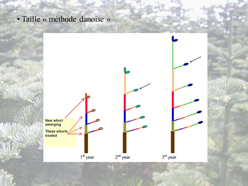 Taille « méthode danoise »