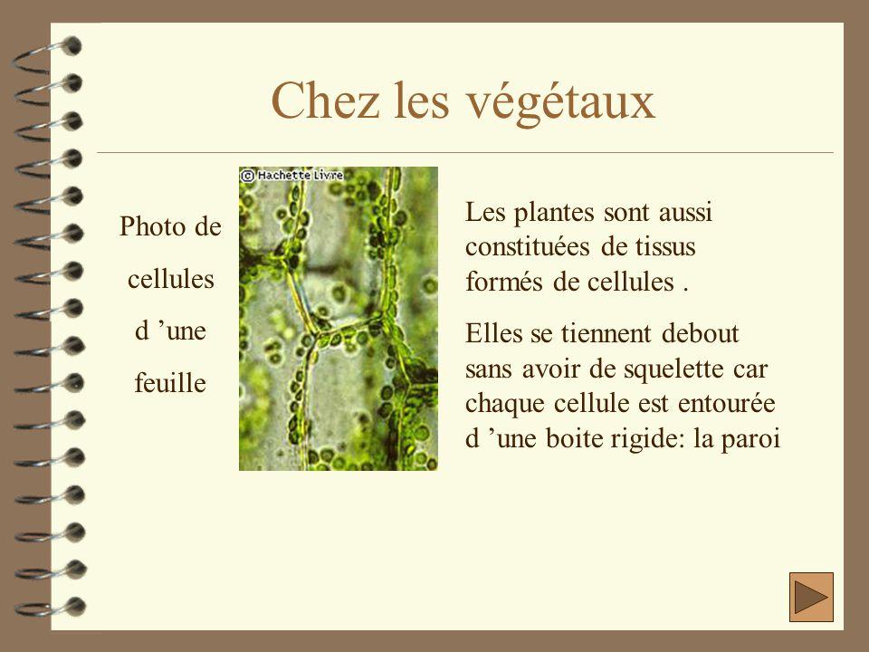 Chez les végétaux Les plantes sont aussi constituées de tissus formés de cellules .