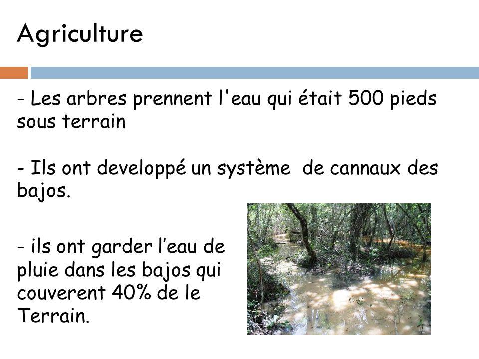 Agriculture - Les arbres prennent l eau qui était 500 pieds sous terrain. - Ils ont developpé un système de cannaux des bajos.