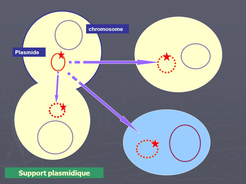 chromosome Plasmide Support plasmidique