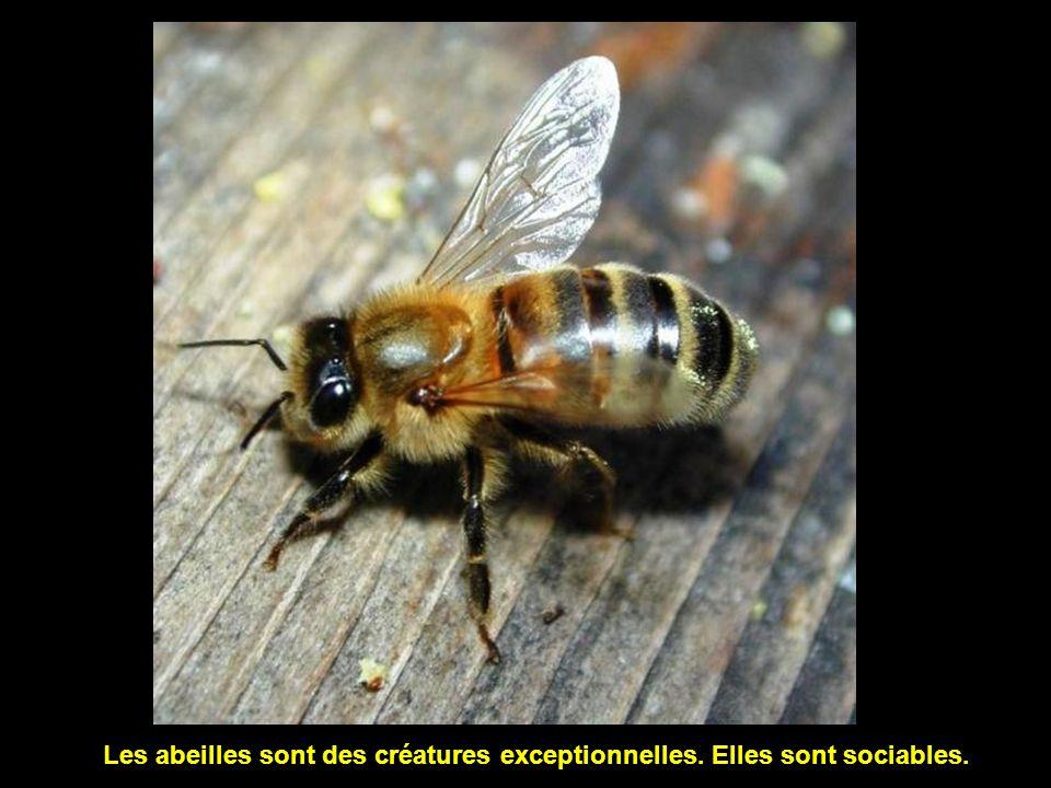 Les abeilles sont des créatures exceptionnelles. Elles sont sociables.