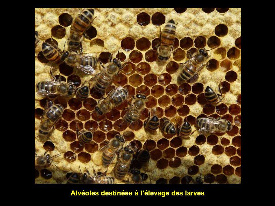 Alvéoles destinées à l'élevage des larves