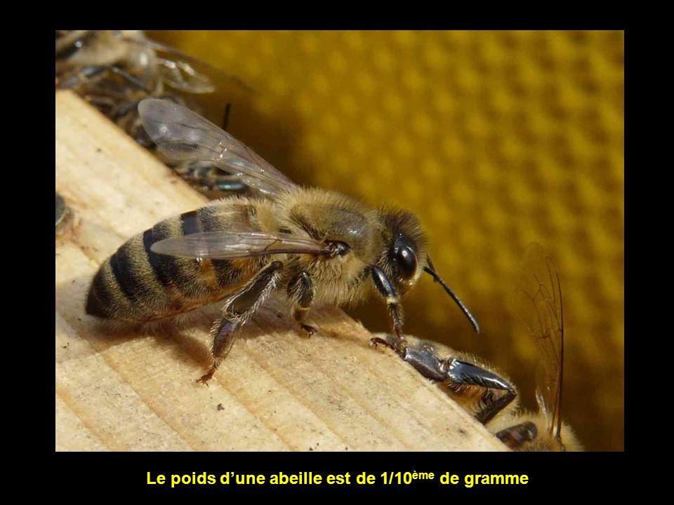 Le poids d'une abeille est de 1/10ème de gramme