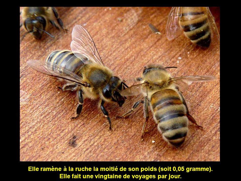 Elle ramène à la ruche la moitié de son poids (soit 0,05 gramme).
