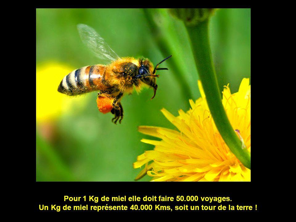 Pour 1 Kg de miel elle doit faire 50.000 voyages.