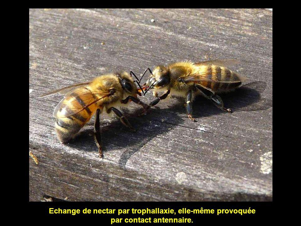 Echange de nectar par trophallaxie, elle-même provoquée