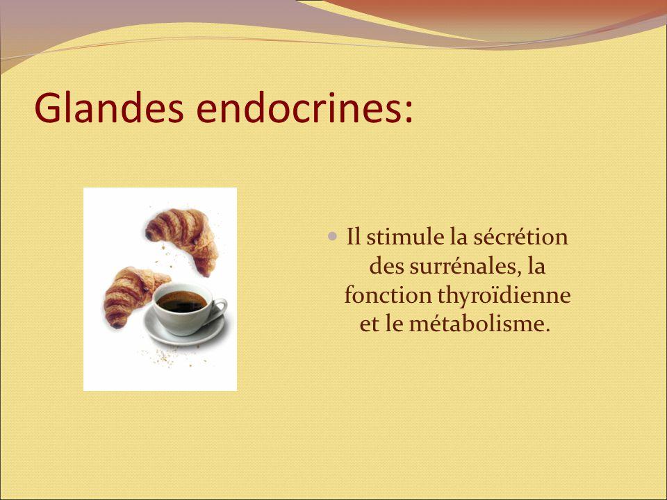 Glandes endocrines: Il stimule la sécrétion des surrénales, la fonction thyroïdienne et le métabolisme.