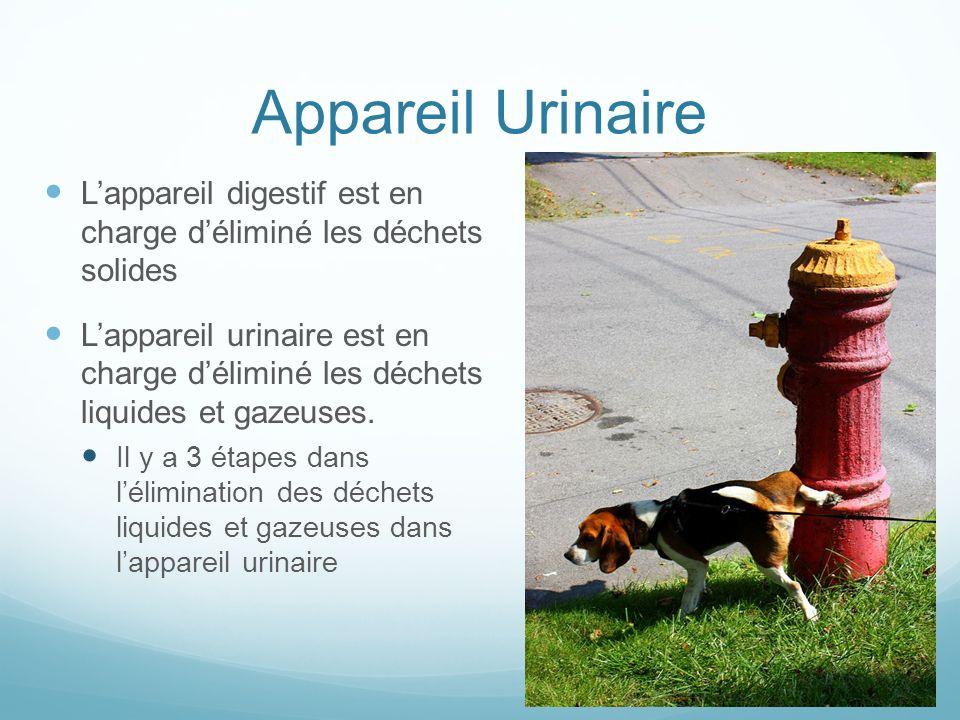 Appareil Urinaire L'appareil digestif est en charge d'éliminé les déchets solides.