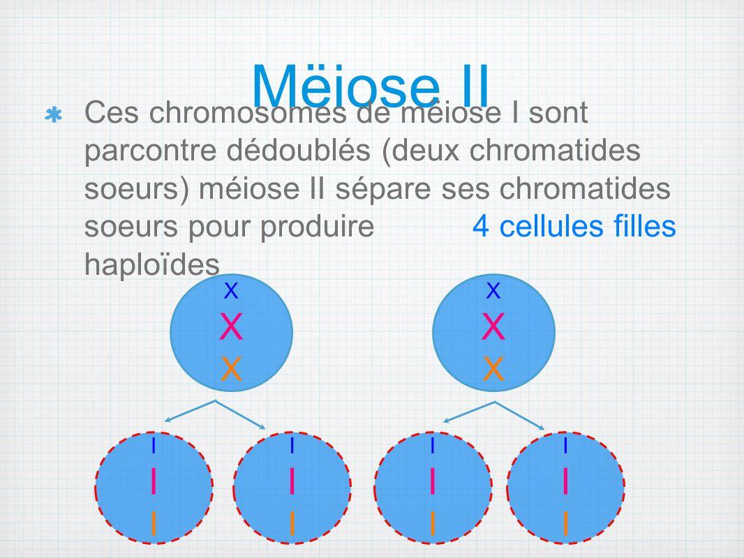 Mëiose II