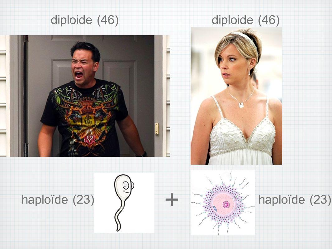 diploide (46) diploide (46) + haploïde (23) haploïde (23)