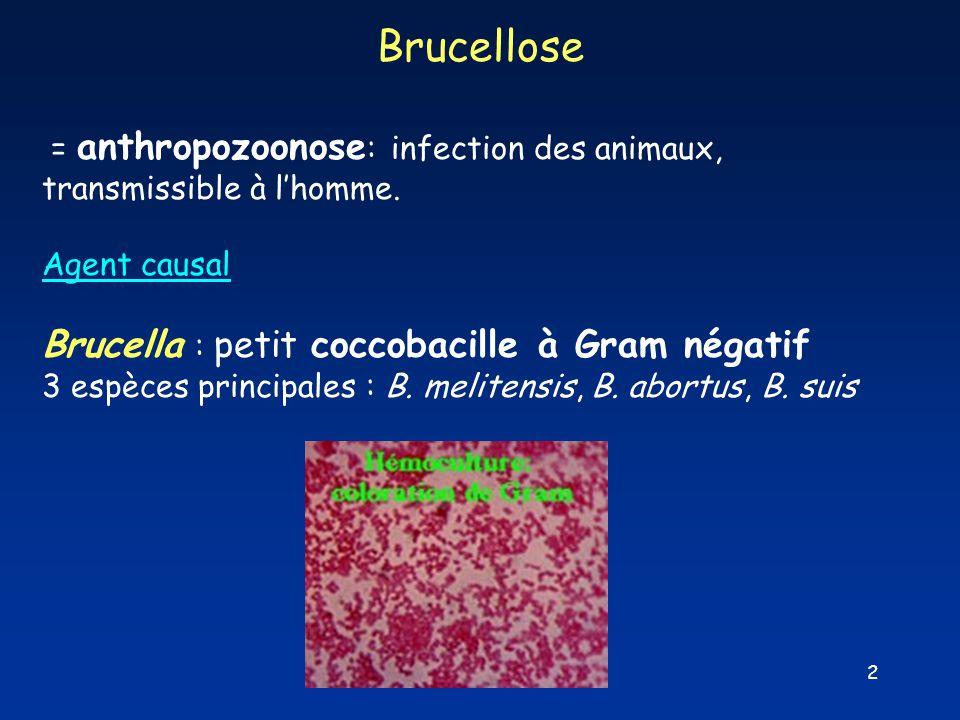 Brucellose Brucella : petit coccobacille à Gram négatif