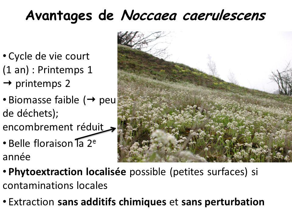 Avantages de Noccaea caerulescens
