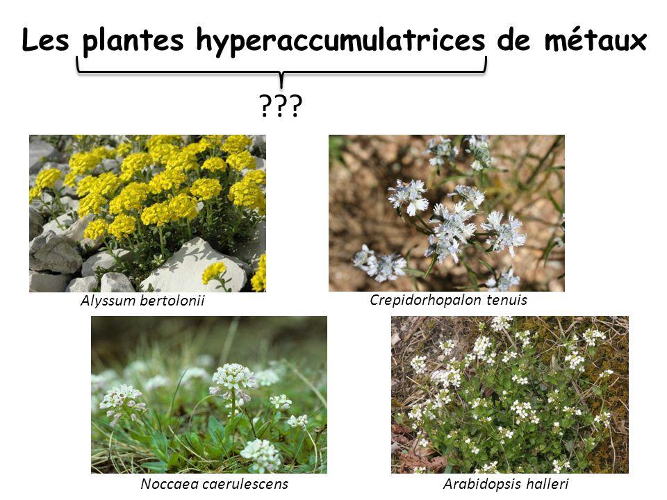 Les plantes hyperaccumulatrices de métaux