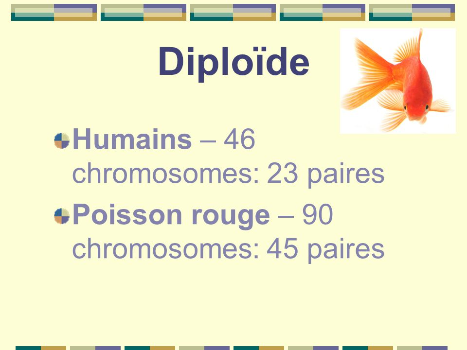 Diploïde Humains – 46 chromosomes: 23 paires