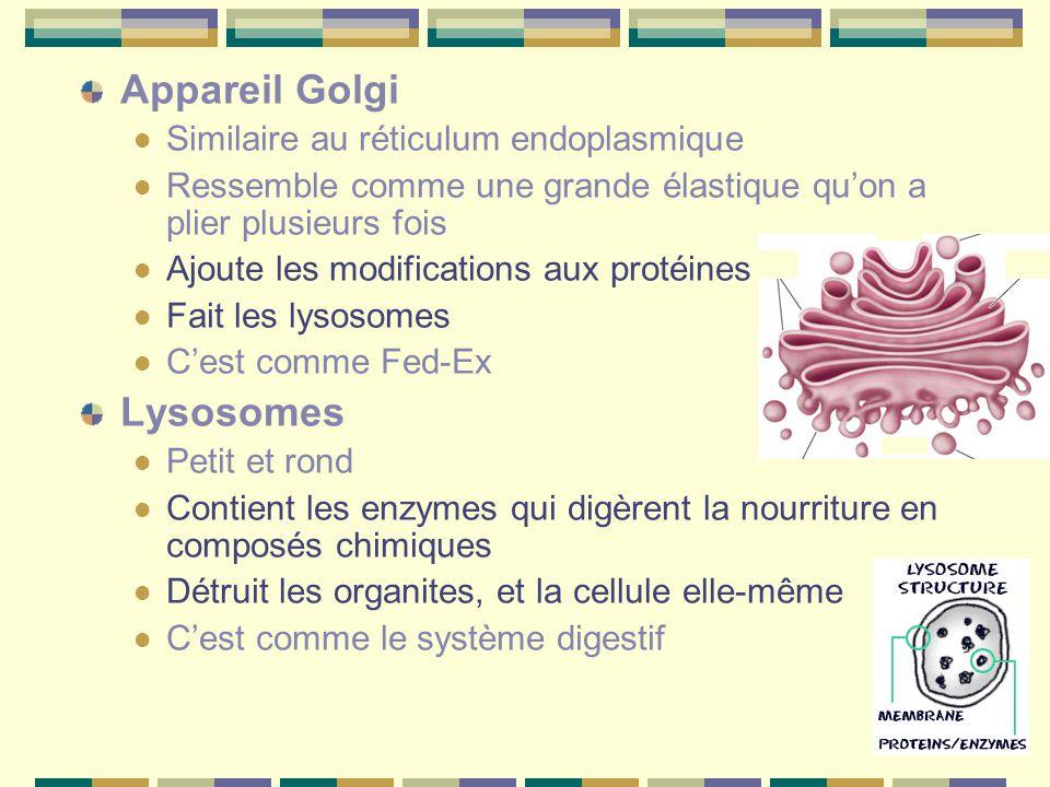 Appareil Golgi Lysosomes Similaire au réticulum endoplasmique