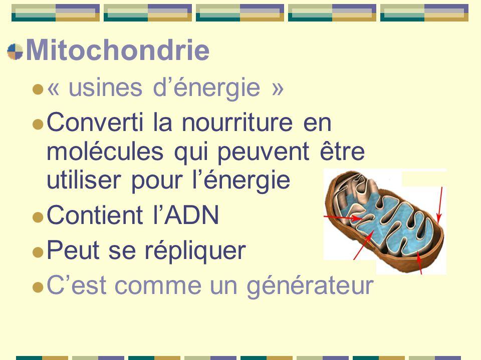 Mitochondrie « usines d'énergie »