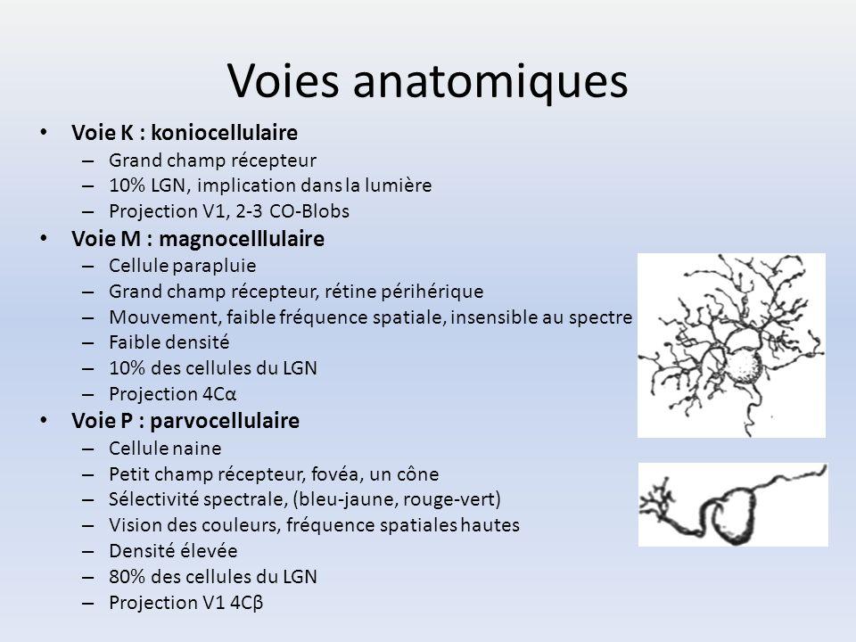 Voies anatomiques Voie K : koniocellulaire Voie M : magnocelllulaire