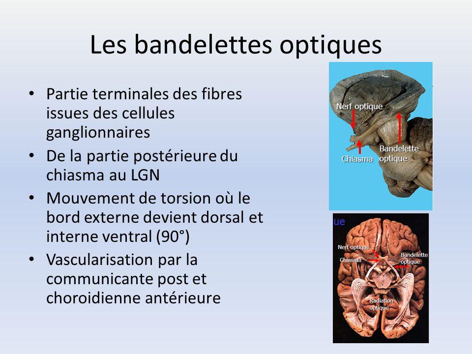Les bandelettes optiques