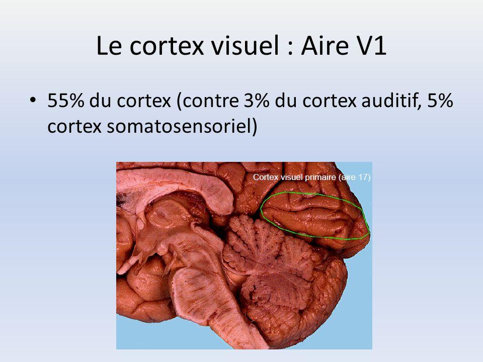 Le cortex visuel : Aire V1