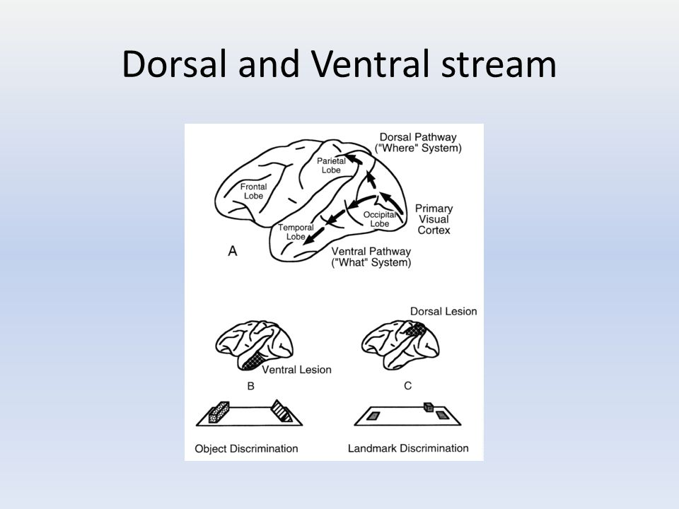 Dorsal and Ventral stream