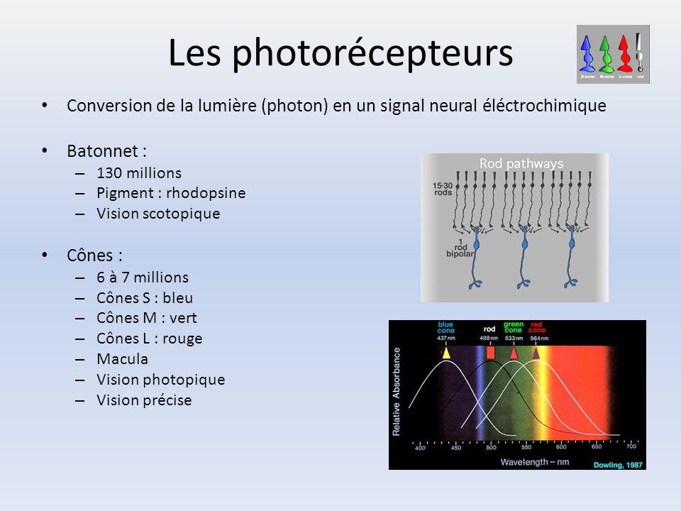 Les photorécepteurs Conversion de la lumière (photon) en un signal neural éléctrochimique. Batonnet :