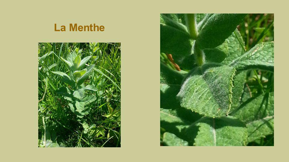 La Menthe