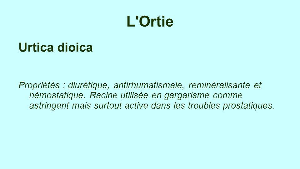 L Ortie Urtica dioica.