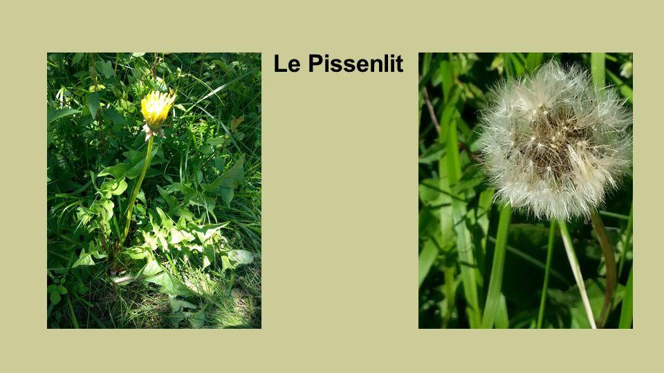 Le Pissenlit