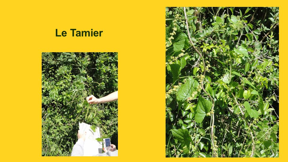 Le Tamier
