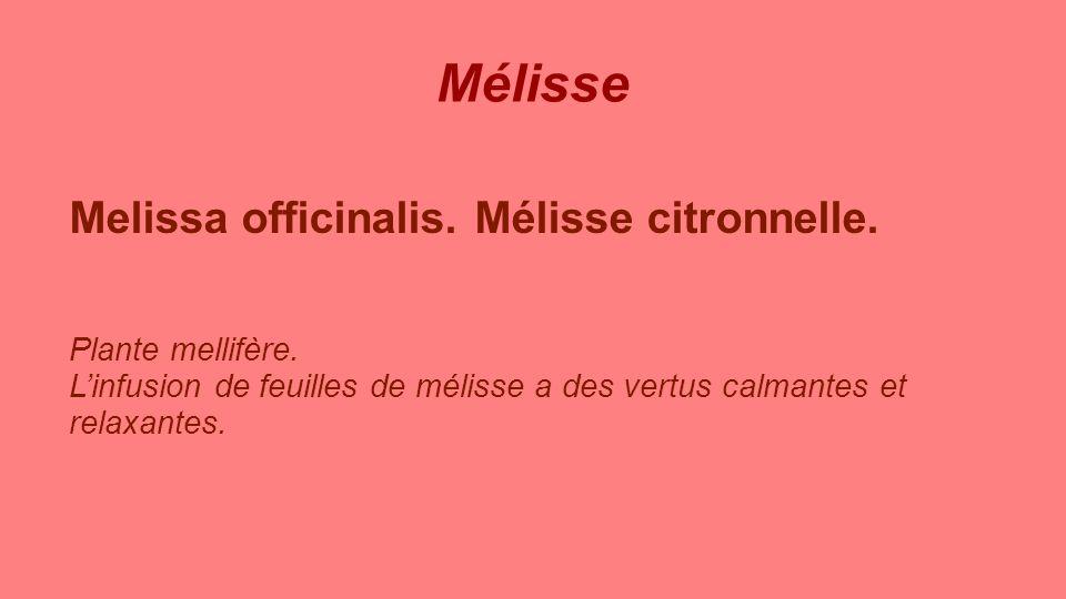 Mélisse Melissa officinalis. Mélisse citronnelle. Plante mellifère.