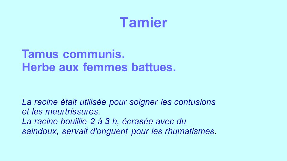 Tamier Tamus communis. Herbe aux femmes battues.