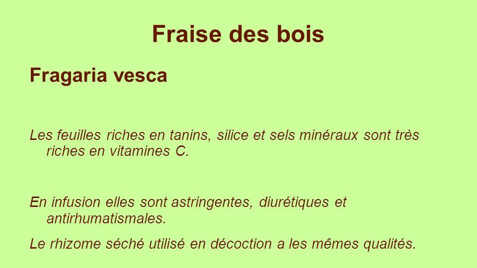 Fraise des bois Fragaria vesca