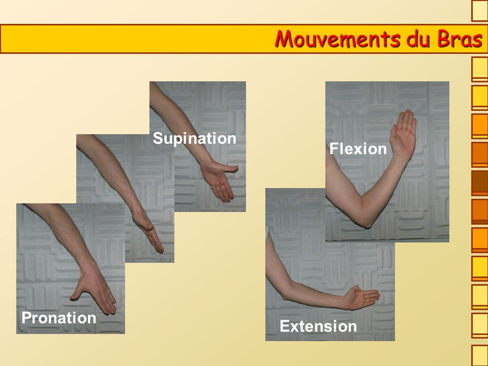 Mouvements du Bras Supination Flexion Pronation Extension