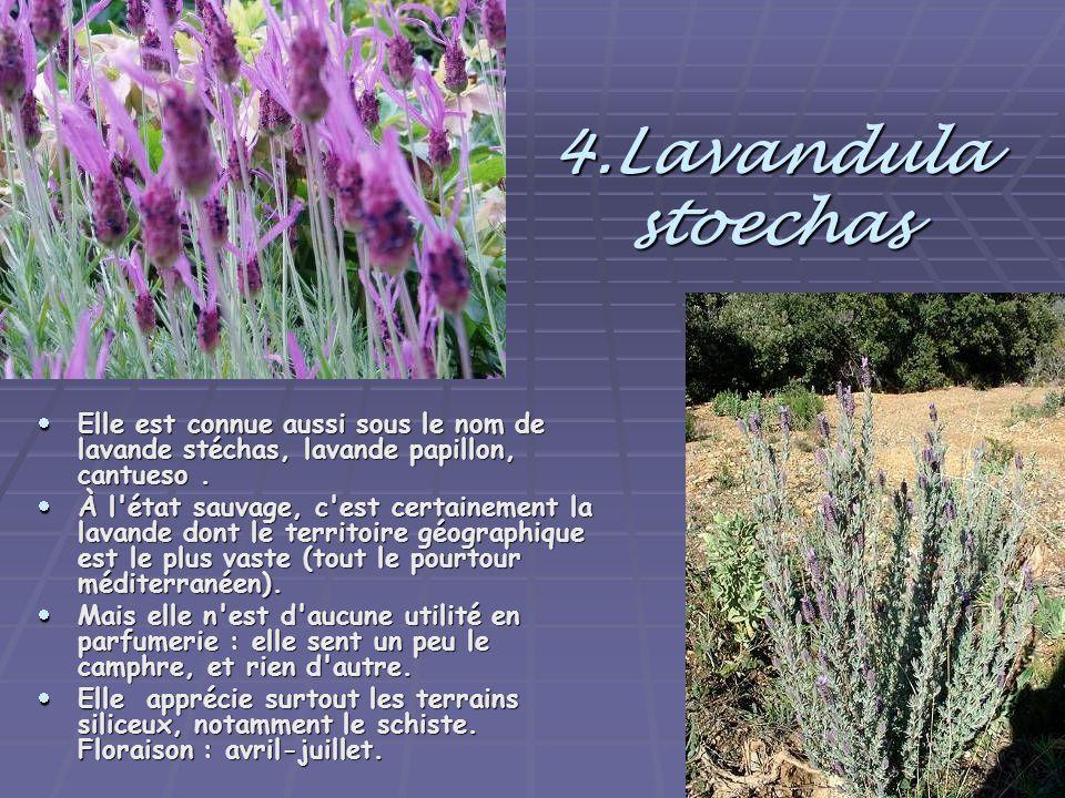 4.Lavandula stoechas Elle est connue aussi sous le nom de lavande stéchas, lavande papillon, cantueso .