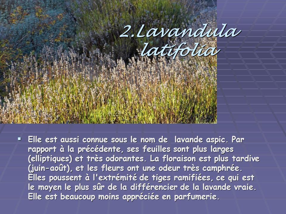 2.Lavandula latifolia