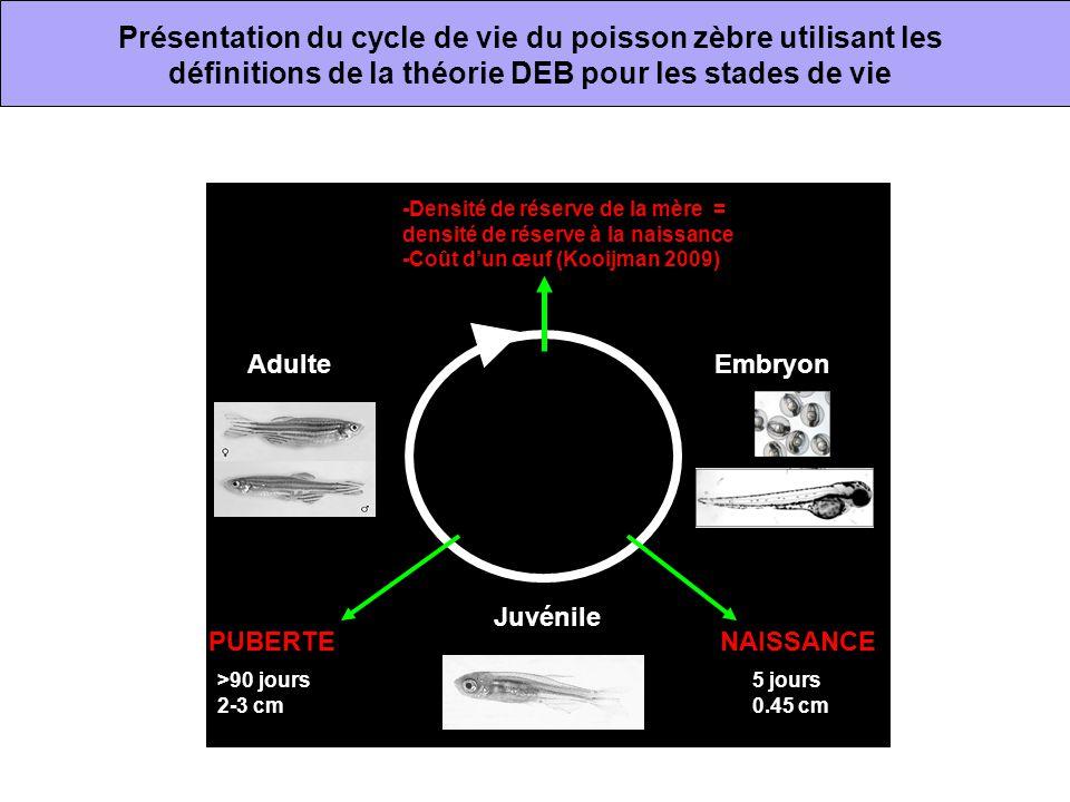 Présentation du cycle de vie du poisson zèbre utilisant les définitions de la théorie DEB pour les stades de vie
