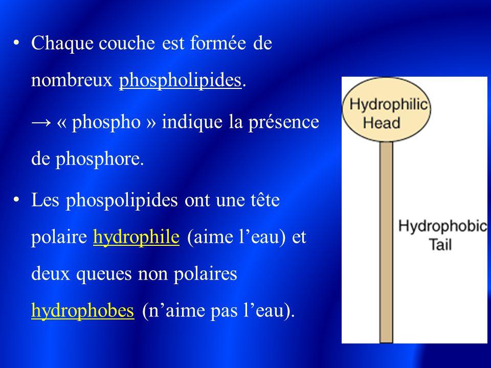 Chaque couche est formée de nombreux phospholipides.