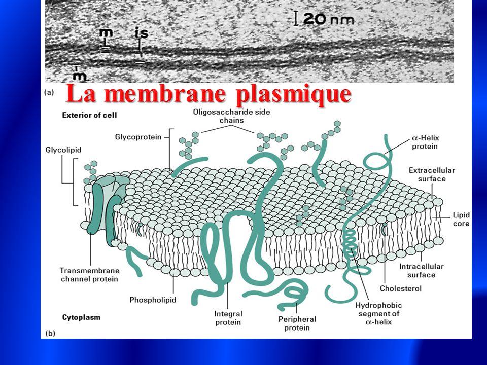 La membrane plasmique