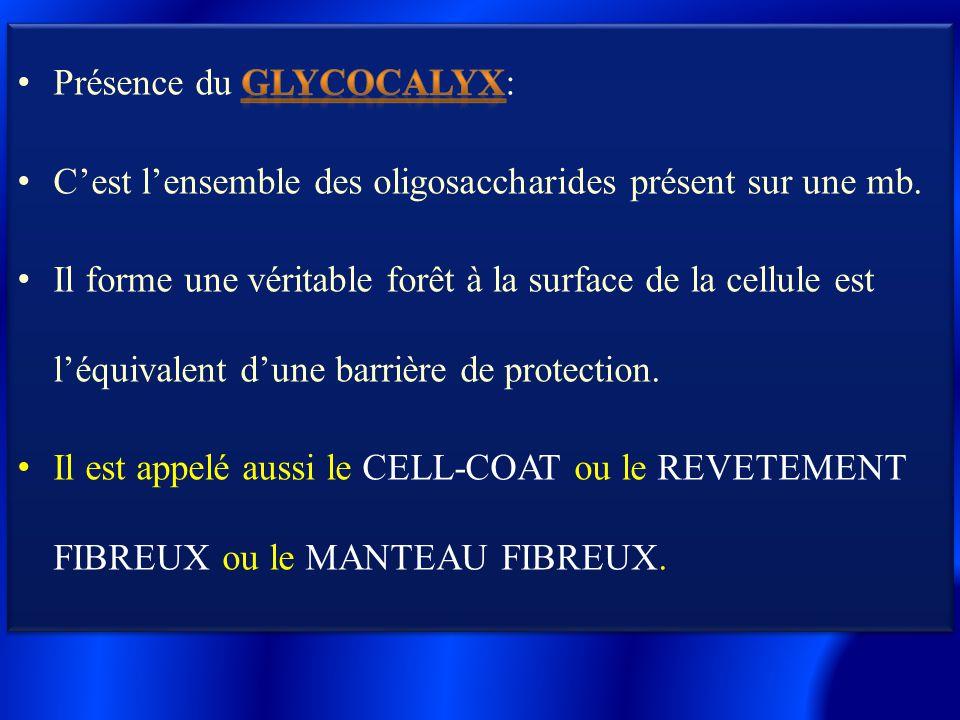 Présence du glycocalyx: