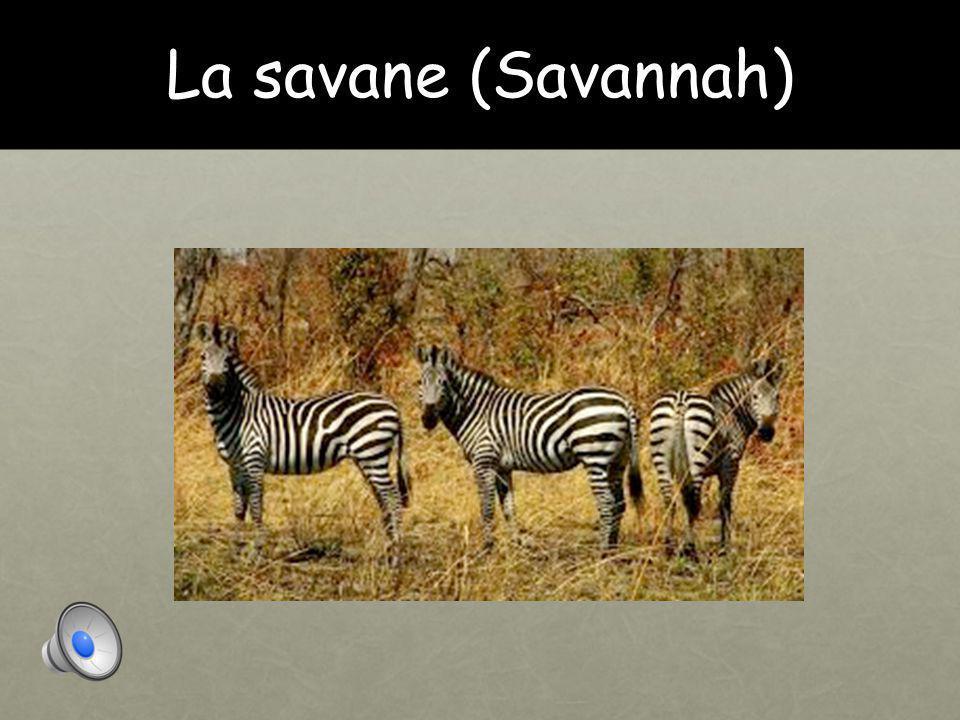 La savane (Savannah)
