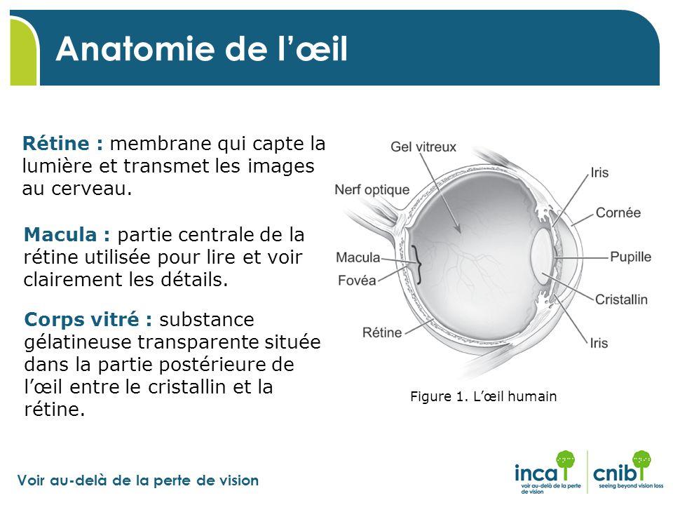 Anatomie de l'œil Rétine : membrane qui capte la lumière et transmet les images au cerveau.
