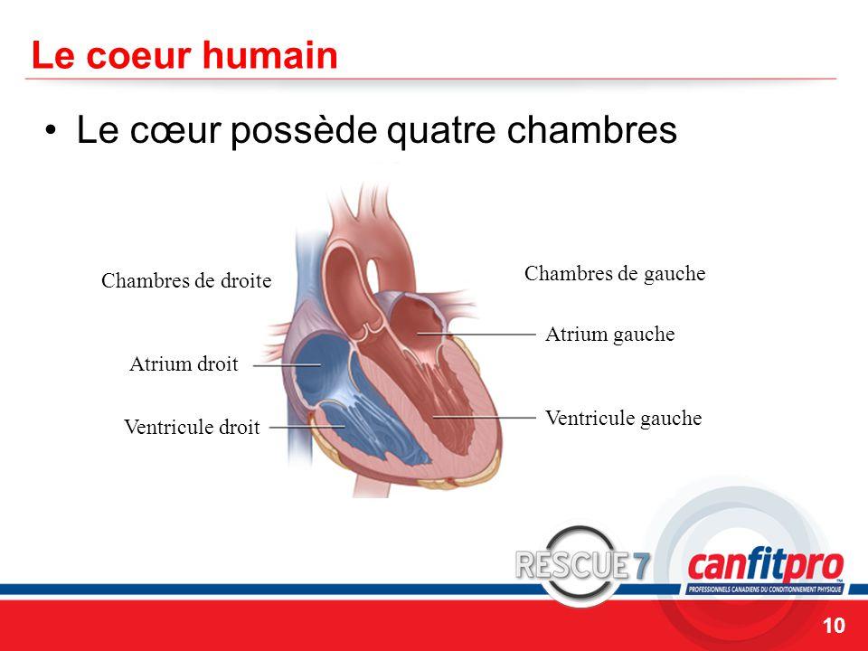 Le cœur possède quatre chambres