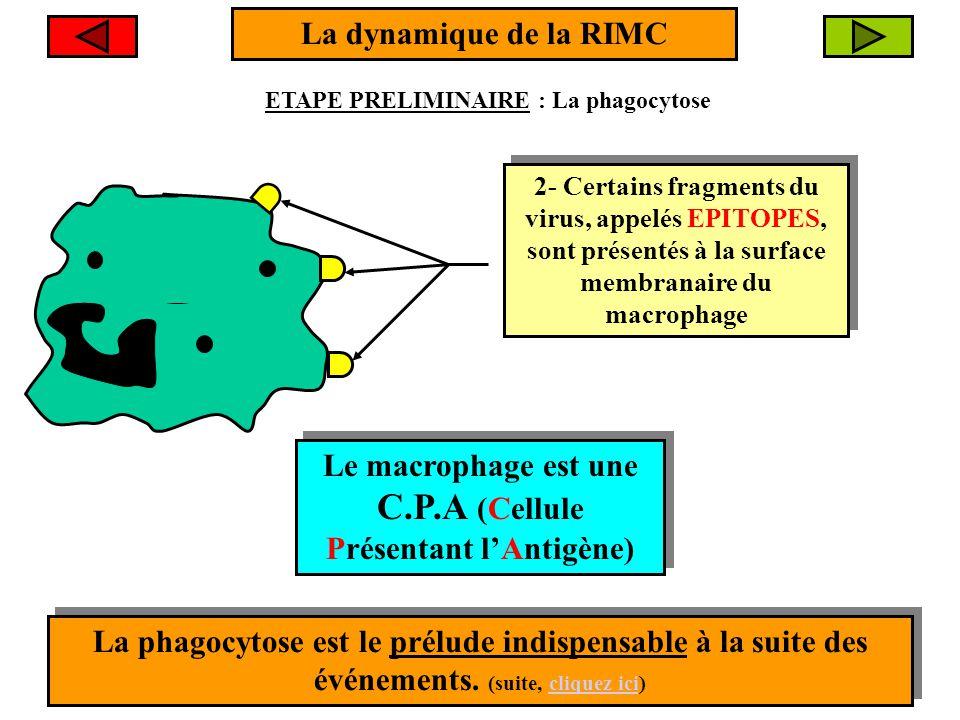 Le macrophage est une C.P.A (Cellule Présentant l'Antigène)