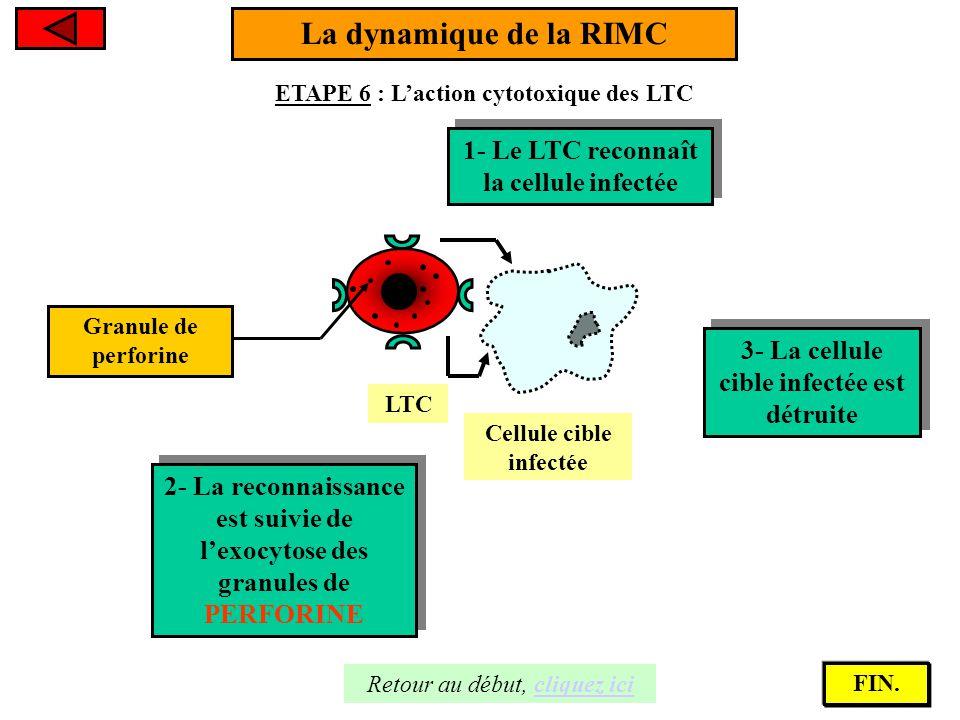 La dynamique de la RIMC 1- Le LTC reconnaît la cellule infectée