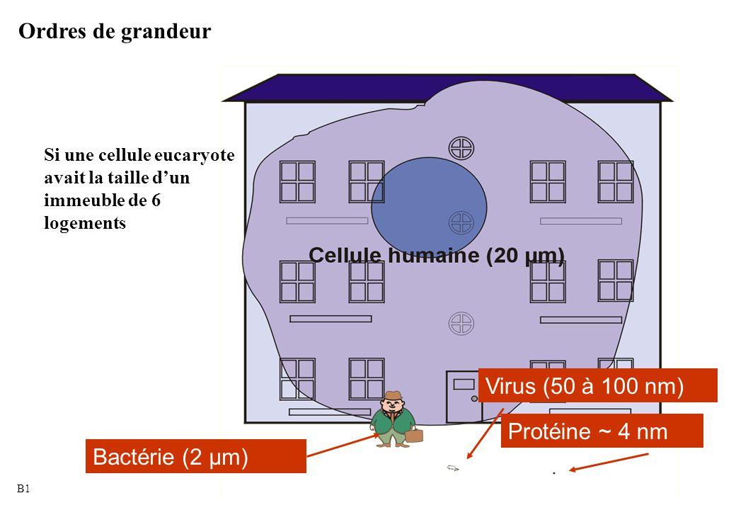 Ordres de grandeur Virus (50 à 100 nm) Protéine ~ 4 nm Bactérie (2 µm)