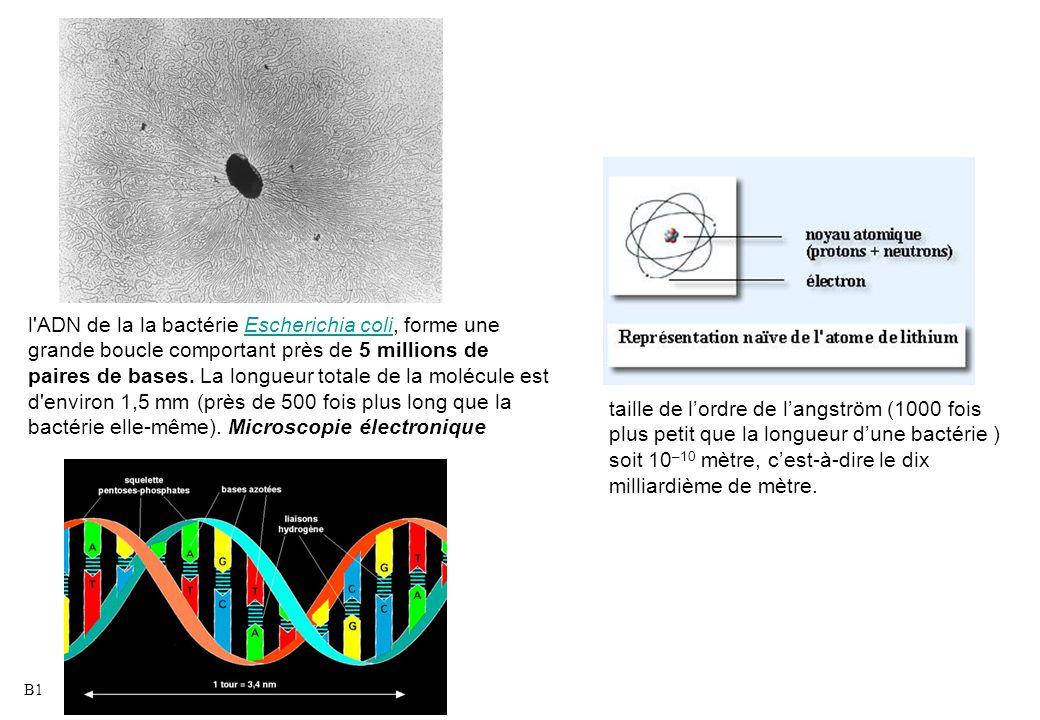 l ADN de la la bactérie Escherichia coli, forme une grande boucle comportant près de 5 millions de paires de bases. La longueur totale de la molécule est d environ 1,5 mm (près de 500 fois plus long que la bactérie elle-même). Microscopie électronique