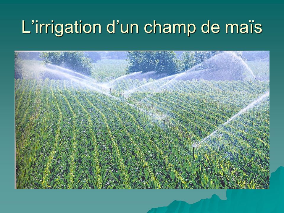 L'irrigation d'un champ de maïs