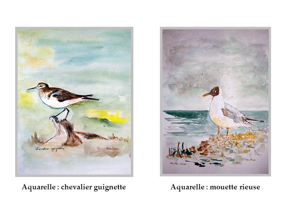 Aquarelle : chevalier guignette Aquarelle : mouette rieuse